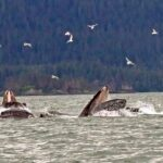 whalesbubblefeeding